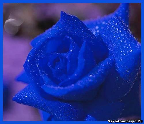 Картинки синие розы с днем рождения - e5123