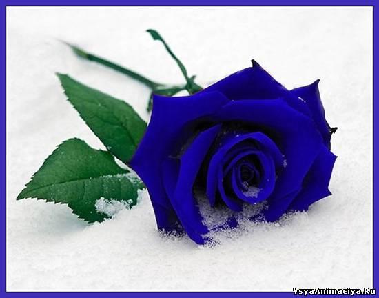 Картинки синие розы - 98c9f