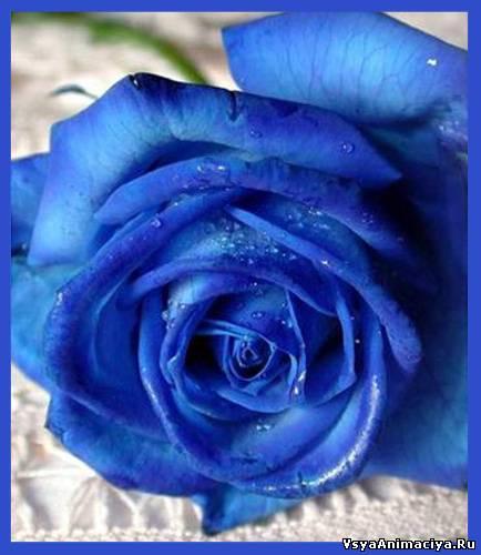 Картинки синие розы букеты большие и красивые - bc98d