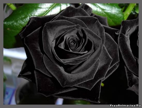 Черные розы картинки на