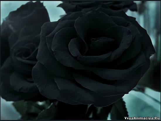 К чему снятся розы (красные, белые, розовые, чёрные и) 63