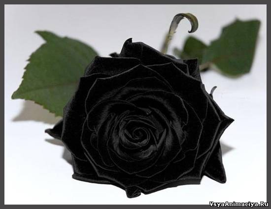 Картинки розы чёрные для украшения